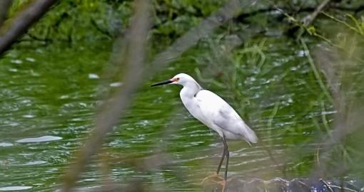 mute-swan-at-mitchell-lake-audubon-center